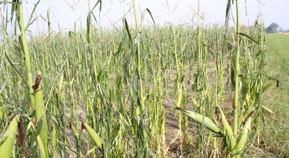 Kukurydza zbita przez grad
