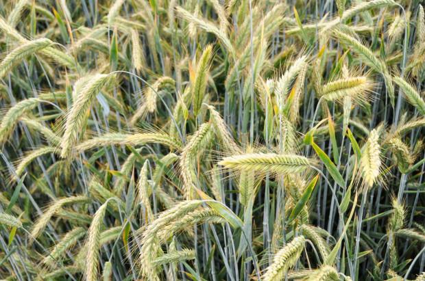Listy OdmianZalecanychzbóżozimych – pszenicy, pszenżyta, żyta