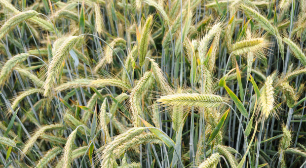 LOZ zbóżozimych: pszenicy, pszenżyta i żyta