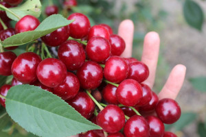 Jakie ceny wiśni w 2021 r.?