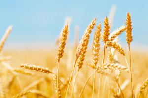 Przewaga spadków cen zbóż na światowych giełdach