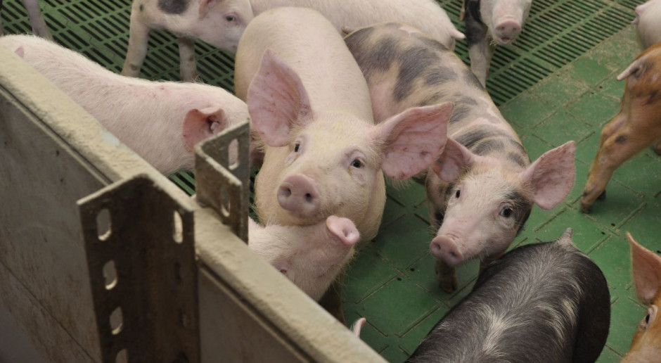 Branża mięsna: Sieci handlowe odmawiają przyjmowania mięsa ze stref ASF
