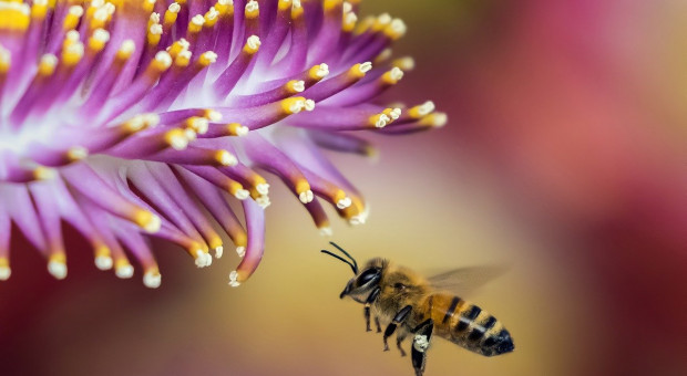 Ratowanie pszczół dzięki genomice