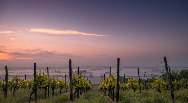 Historycznie słabe zbiory we francuskich winnicach