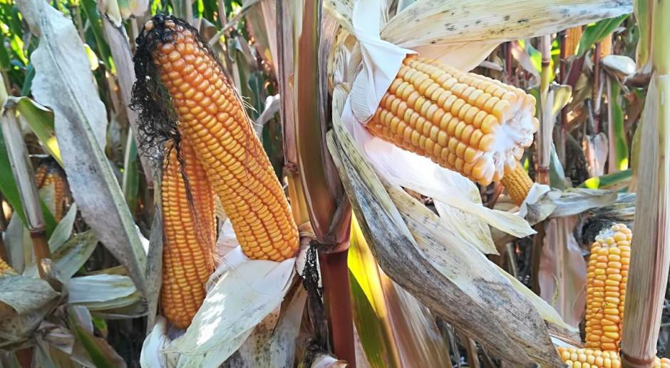 Promocja uprawy kukurydzy i sorga