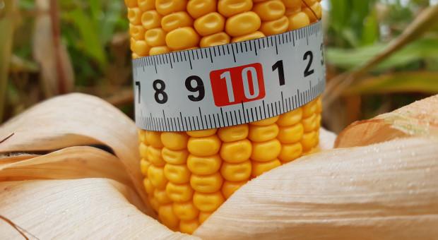 Zmierz kolbę kukurydzy