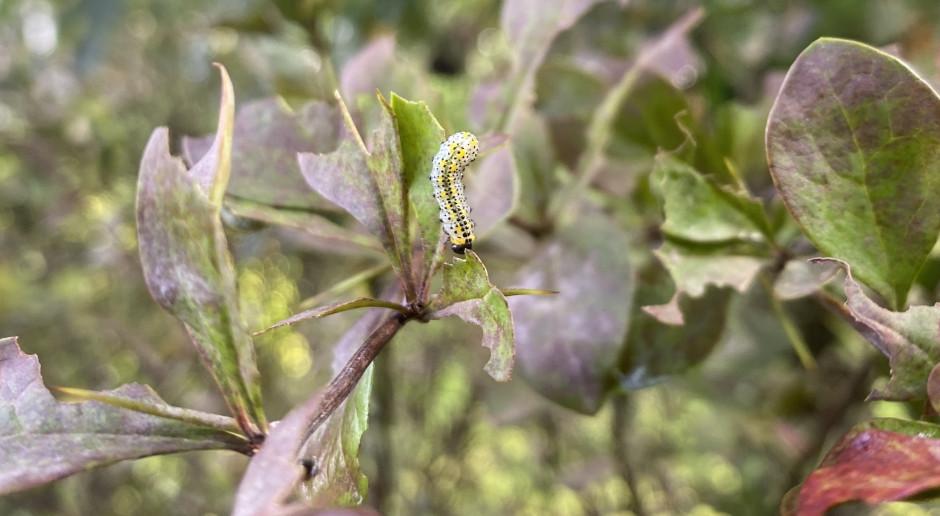 Obnażacz kwaśnicówka – groźny szkodnik berberysu