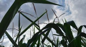 Radykalny wzrost areału uprawy kukurydzy