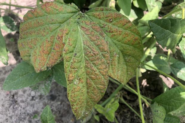 Symptomy najpierw objawiają się na górnych liściach o większej ekspozycji na światło słoneczne (fot. JŚ-S).