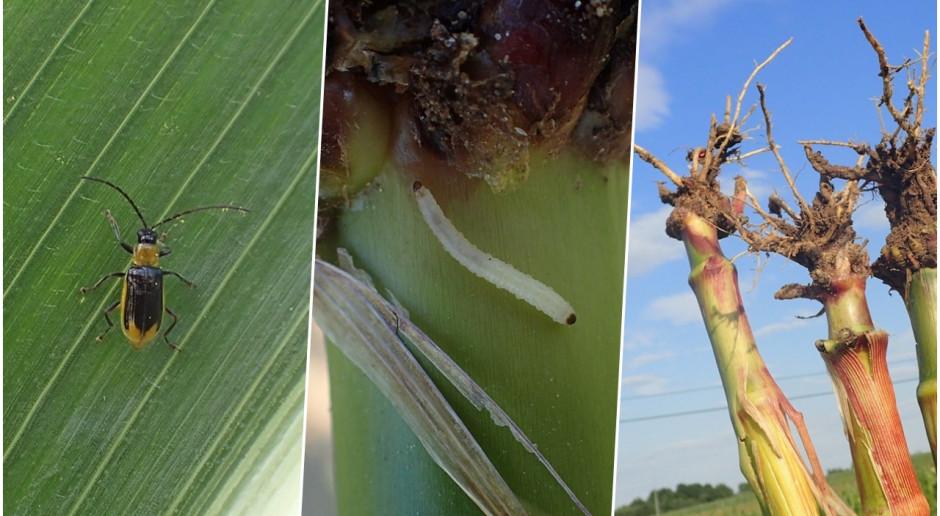 Stonka kukurydziana obecna w Wielkopolsce