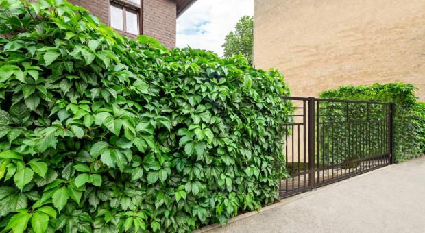 Jakie rośliny ogrodowe nadają się na zielony żywopłot wokół domu?