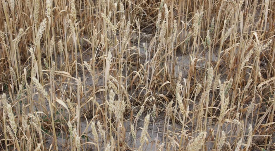 Kanada: Z powodu suszy farmerzy wracają do dawnych metod w rolnictwie