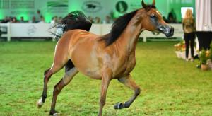 Blisko 1,6 mln euro za konie na aukcji Pride of Poland