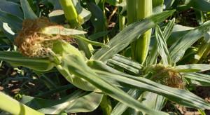 Prolific w kukurydzy widoczny, jak nigdy dotąd