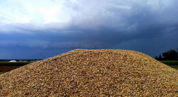 Raport ze skupów: Wysokie stawki za rzepak i pszenicę