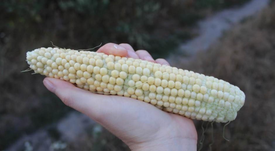 Susza obecna w 8 województwach, dotyczy głównie kukurydzy
