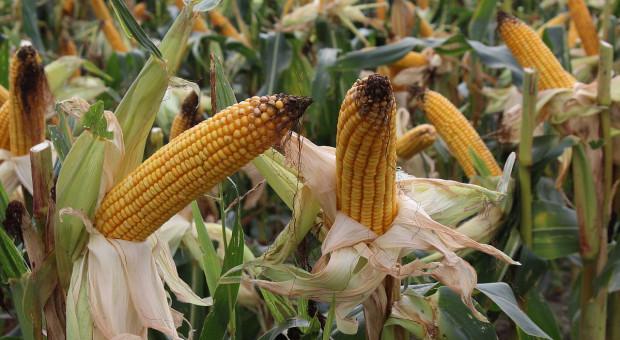 Szybowiec spadł na pole kukurydzy