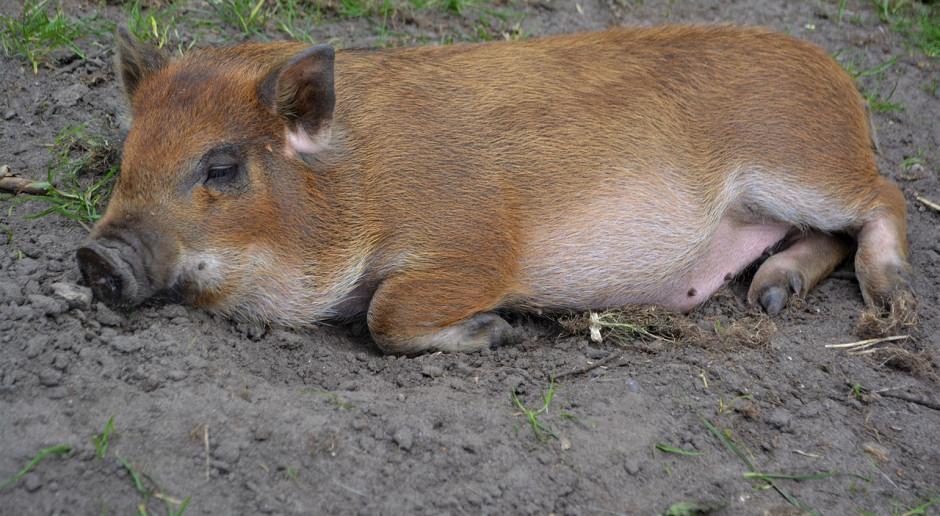 Najstarsza świnia na świecie ma 23 lata