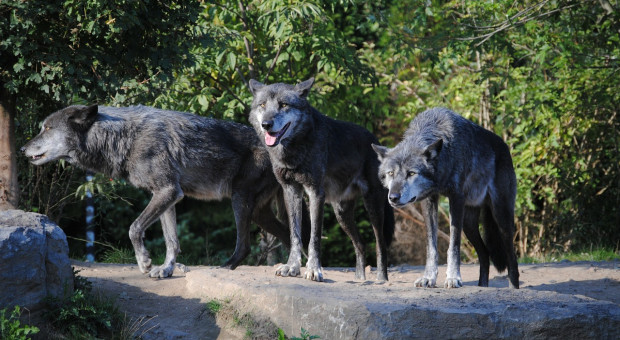 Niemcy: Minister rolnictwa chce regionalnych polowań na wilki