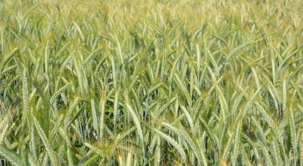 Najwyżej plonujące odmiany pszenżyta w PDO 2021
