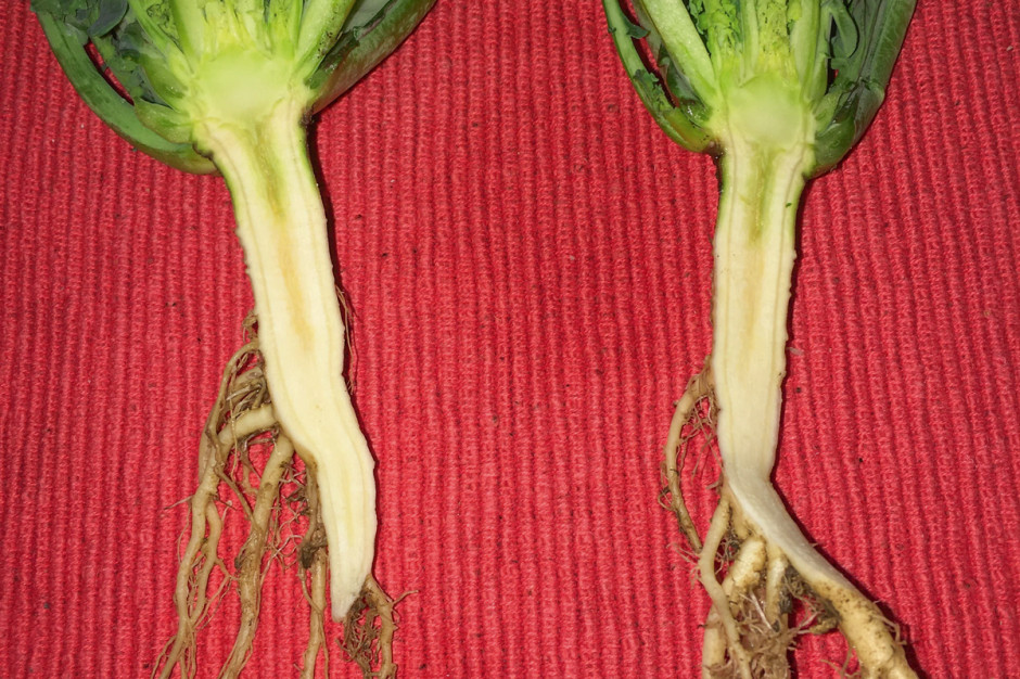 Przekrój wzdłuż rośliny rzepaku jest pomocny w diagnozowaniu charakterystycznego objawu deficytu boru, czyli pęknięć pod szyjką korzeniową