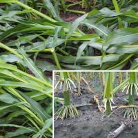 Plantacje kukurydzy mogą wylegać w fazach, kiedy rośliny są jeszcze zielone. Do takich szkód zazwyczaj dochodzi, zanim u roślin wykształcą się korzenie podporowe