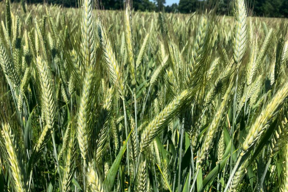 Wbrew często spotykanej opinii uprawa zerowa nie doprowadziła do silnej presji agrofagów w łanie pszenżyta ozimego