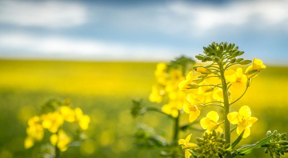 Europejski Zielony Ład zagrożeniem dla uprawy rzepaku
