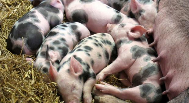 """Hodowla świń jest teraz """"bardziej profesjonalna"""""""
