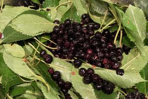 COVID-19: aronia w diecie ozdrowieńców