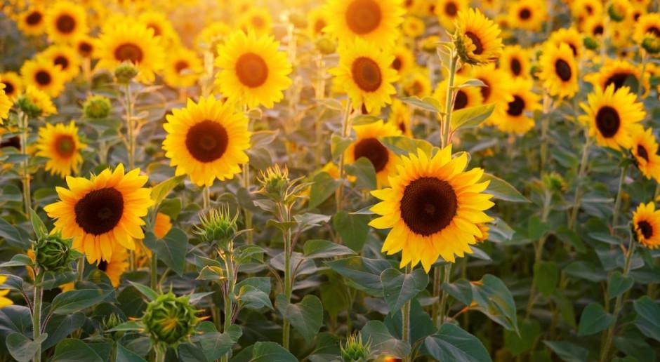 Słoneczniki zwracają się w kierunku wschodnim, bo to im daje korzyści