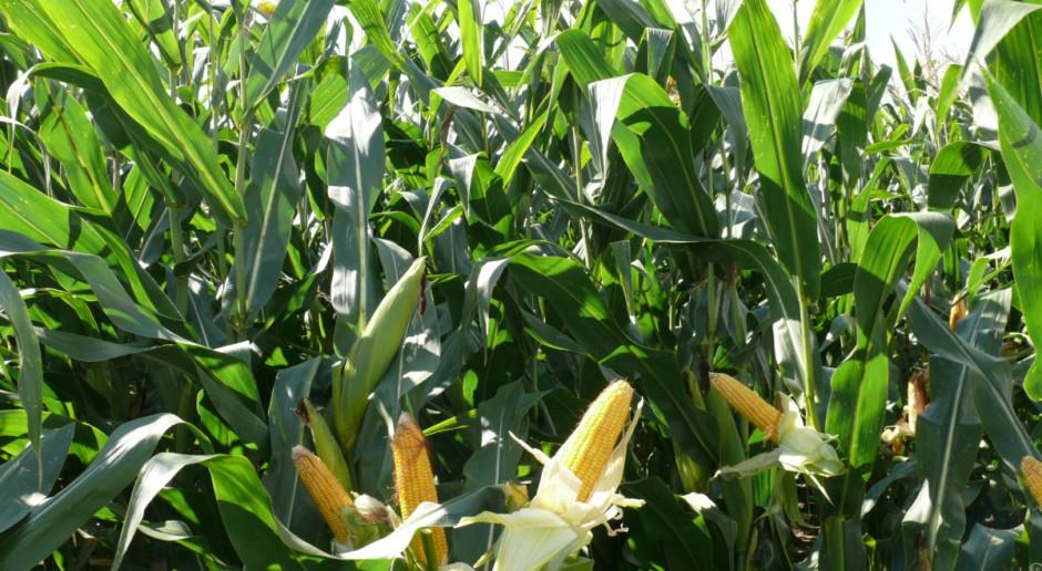 KOWR: Zapowiadają się rekordowe w Polsce zbiory kukurydzy