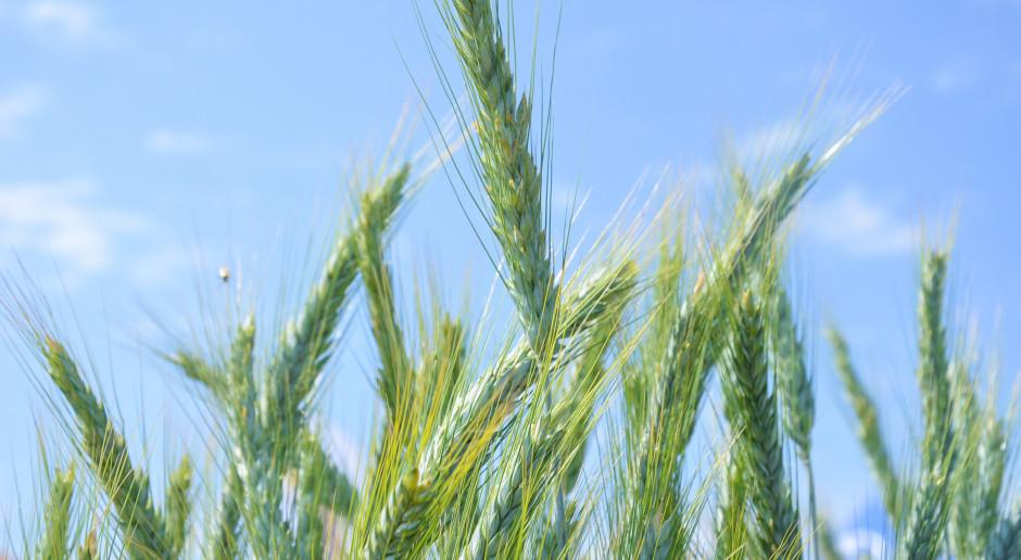 Odmiany pszenżyta natrudne warunki