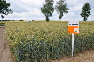 Prezentowana odmiana trafiła na LOZ wtym roku ijest zalecana do uprawy na terenie 6 województw