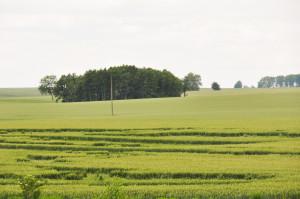 Ze względu zdecydowanie źdźbła, odmiany mieszańcowe żyta, są mniej podatne na wyleganie od liniowych
