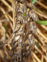 Długotrwała zwiększona wilgotność w dojrzałych łanach zbóż przyczynia się do rozwoju czerni zbóż