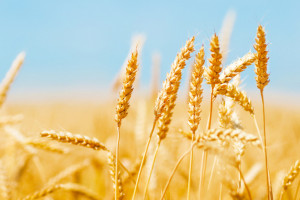Spadek cen zbóż na paryskiej giełdzie