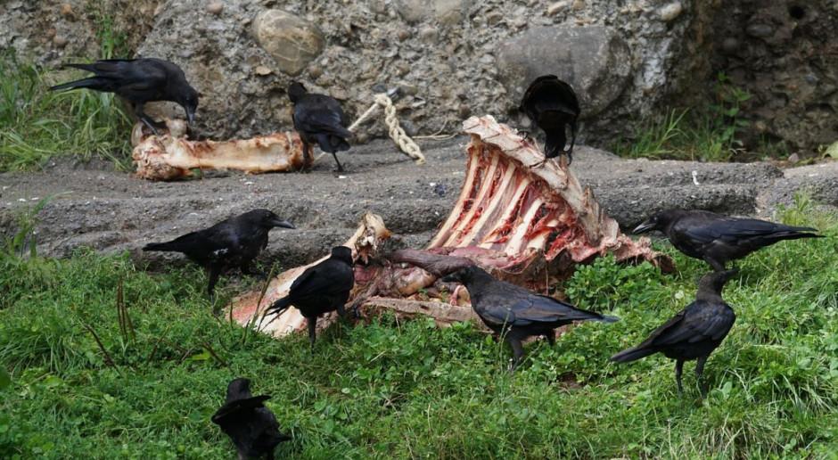 Ekolodzy karmią na wsi drapieżne ptaki odpadami z rzeźni
