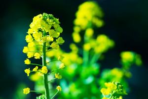 Wzrost notowań oleistych po publikacji raportu USDA