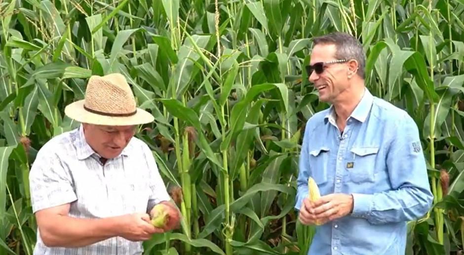 Plony kukurydzy będą rekordowo wysokie?