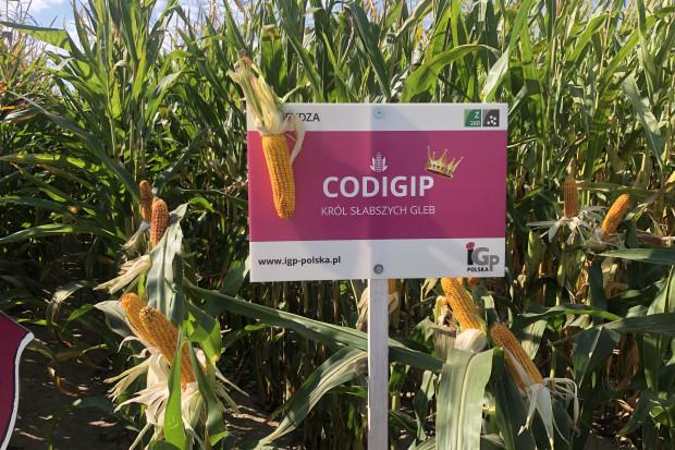 Odmiana Codigip wyróżnia się wysoką tolerancją na suszę (fot. JŚ-S).