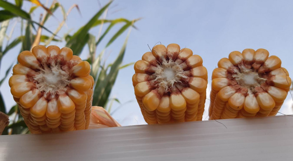 Kukurydza nie tylko azotem żyje