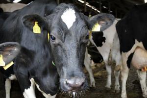 Wzrost pogłowia bydła we wszystkich grupach. Wyjątkiem pogłowie krów