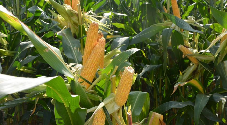 Kukurydza zaskoczyła nie tylko areałem. Zbiory opóźnione