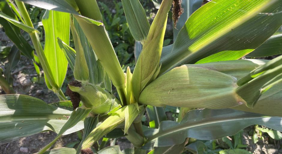 Czy więcej kolb na roślinie da wyższy plon?