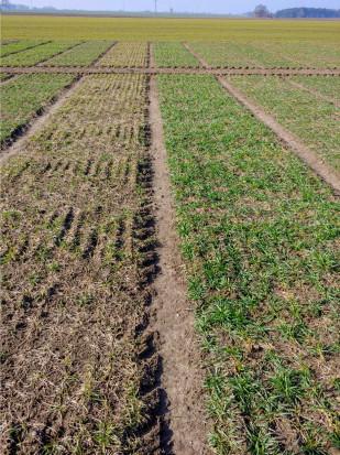 Pszenżyto ozime –po lewej odmiana zniszczona przez pleśń śniegową, po prawej odmiana Tadeus odznaczająca się podwyższoną tolerancją na tę chorobę