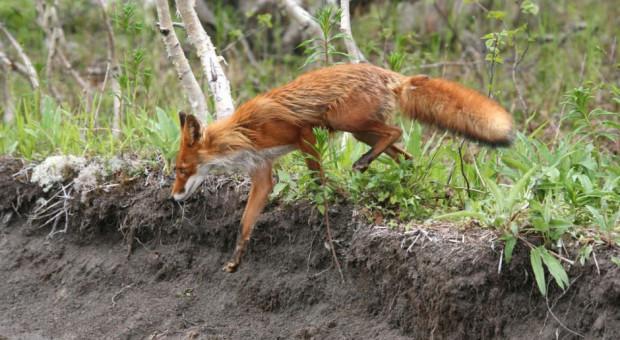 Mazowsze: Trwa jesienna akcja szczepienia lisów wolno żyjących przeciwko wściekliźnie