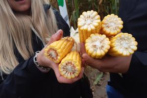 Kukurydza wysiewana w mieszance dla lepszej jakości kiszonki