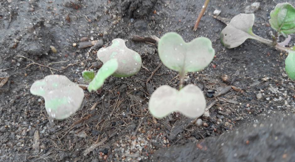 Opady utrudniały wschody albo opóźniały siew rzepaku