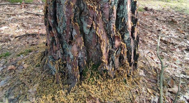 Inwazja szkodników w wielkopolskich lasach